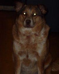 Canine Idiopathic Epilepsy